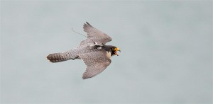 Harpers Ferry peregrine 2008 (adult male)